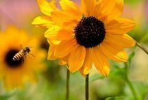 Sunflowers / by Beverly Bruemmer
