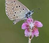 Butterflies - Blues - Blauwtjes