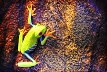 Amphibians / Some of our favourite amphibian links!  Get more information on amphibians here; http://www.reptilecentre.com/files_amphibians
