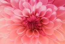 Couleurs: rose / Du rose poudré au fuschia