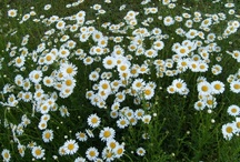 Starr's World of Daisies Daisies Daisies :) / My favourite flower ! / by Starr Pritchard