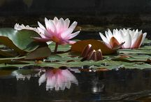Amazing Water Lilies Lotus  / by Erika Moore
