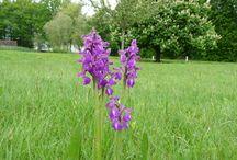 Orchidées de l'Aube