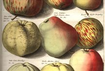 Knoop - Pomologia (1758) / Especially with Pomologia Johann  Knoop performed the pioneering work and it is therefore regarded as the founder of pomology or the study of fruit.  The  prints were engraved by Jacob Folkema and Jan Casper Philips and colored by the daughters of the publisher Abraham Ferwerda from Leeuwarden Holland.