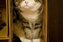 Maru, the cutest cat from Japan / There's no more description, its only cute cute cute!!!