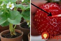 jahody domace