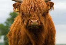 Schotse hooglanderss