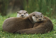 I freaking love Otters! / I am obsessed with otters, as you can see, however, as a disclaimer let me say that in no way would I ever take a wild animal and try to tame it, or keep it in my home. Never. I love them in their beautiful, wild, unencumbered grace.  / by Chrissy West