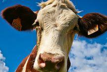 Cows / J'aime les vaches...