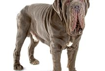 Neapolitan Mastiff / An ancient breed, the Neapolitan Mastiff's lineage can be traced back to ancient Egypt, Persia, Mesopotamia and Asia - to the dogs of war used by the Roman army. The breed later existed on estates and farms in northern Italy, designed to be imposing in appearance for use as a defender of owner and property. - See more at: http://www.noahsdogs.com/m/dogs/breed/Neapolitan-Mastiff#sthash.hPWr8MBf.dpuf