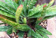 Succulent identification