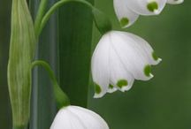 Lily of the valley..♥
