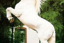 Austria - Vienna - Horses - Lipizzaners