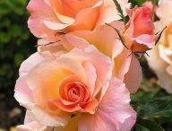 Выращивание многолетников-роз