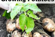 Growing Root Vegetables / It's a little difficult to know if what you're doing is the right thing to do with root veg, because it's mainly all happening underground. So I'm collecting as a many tips and tricks to help along the way.