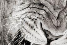 lions o´mine