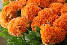 "P A N T O N E   O R A N G E  / ""Celosia Orange, an optimistic, spontaneous hue. Pair Celosia Orange with Violet Tulip for a captivating vision."" Pantone 2014 Spring Colour Report."