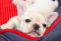 French Bulldogs / cute frenchies