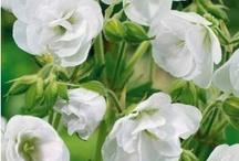 """Eclat blanc / """"Il y a des fleurs partout pour qui veut bien les voir."""" Matisse"""