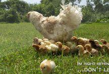 Here chicky chicky
