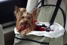 Nothing like a Yorkie / by Susan Geitz Blessing