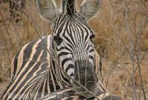 """Nature and Wildlife Photo Art """"Zebra Portrait"""" / Nature and Wildlife Photo Art offers high quality custom made products as Double Float Metal, Single Float Metal, Fine Art Giclee Canvas and Matted & Framed."""