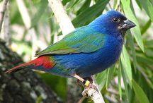 blue headed parrot finch