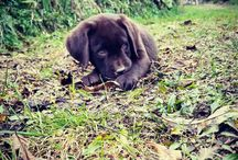 Bruno / #labrador #puppy #labradorchocolate #pet #dog #cutie #buddy #friend