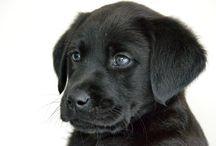 Adoptiepup Amy / Adopteer een KNGF pup