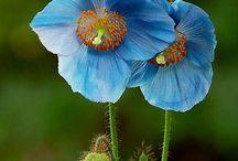 Fleurs / Amapola