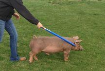 Show Swine/Pigs / by Dawn Supak