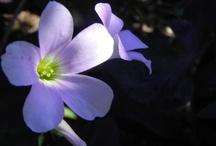 mes belles fleurs