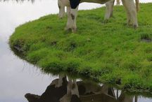 Zwarte koeien