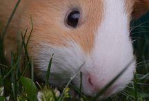 My Guinea pig pics