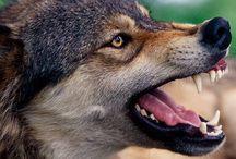 wolf wilki