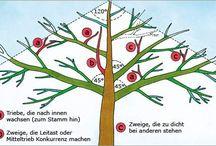 Apfelbaum zuschneiden