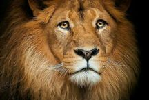 the great Cecil the lion
