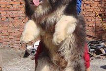 Big dogs / I love big dogs