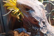 Dragons & Geckos / Reptile friendly