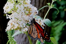 The Incredible Monarch Butterfly / This will be the third year that I raise monarch butterflies from egg to adult.  The eggs I find in August will be the 4th generation of 2012.  These will migrate to Mexico.  I hope to raise,tag, and release at least 100 this year. / by Valerie Pullen
