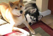 Pets - Shibas & Siberians