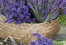 lavender - levandule