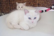 Mesnil-Ragdoll / Lilac Point Bicolor-Ragdoll