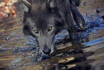 Wolves/Big cats ❤