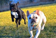 Frenchies and Bulldogs / by Mary Abraham