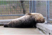 Silly Seals / Dat zeehonden echt hilarisch kunnen zijn bewijzen de foto's en video's op dit bord!