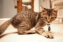 Behavior & Environment / We're on a journey to enrich the lives of domestic cats. Join us and learn how to set up your home to make her life more complete. / by Purina ONE Cats
