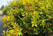 Native Ontario Shrubs / Looking for native shrubs to enhance your landscape and your borders? As well as support biodiversity and controlling pests and diseases, using these species will guarantee you stronger and more beautiful plants.