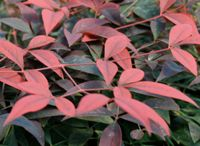 NANDINA / With its colorful, lacy foliage and easy care, nandina (Nandina domestica) has become a favorite. Nandina is an evergreen shrub with stalks and leaves that resemble bamboo canes, which is why it is also called heavenly bamboo.