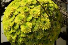just chrys - blumige Impressionen mit einem floralen Multitalent / Die fröhliche Chrysantheme ist ein echtes Multitalent. Es gibt sie in unterschiedlichsten Farben und Formen, großblütig, dekorativ und im Miniformat. Ihre Wandelbarkeit, ihr sympathischer Auftritt und ihre tolle lange Haltbarkeit machen sie zum Star einer blumigen Kollektion, die Fachverband Deutscher Floristen und Blumenbüro entwickelt haben. Just chrys zeigt die ganze Welt der Chrysantheme!